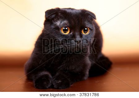 poster of Black scottish fold cat on the gold background