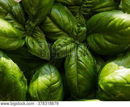 Closeup Basil. Green Fresh Basil Leaf Plant Top View. Green Leafs Of Genovese Basil