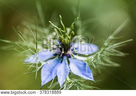 Black Cumin Or Nigella Sativa Or Black Caraway, Roman Coriander Flower. Macro Soft Focus