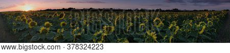 Field With Sunflowers Near Czech Village Of Bitozeves On 21th July 2020
