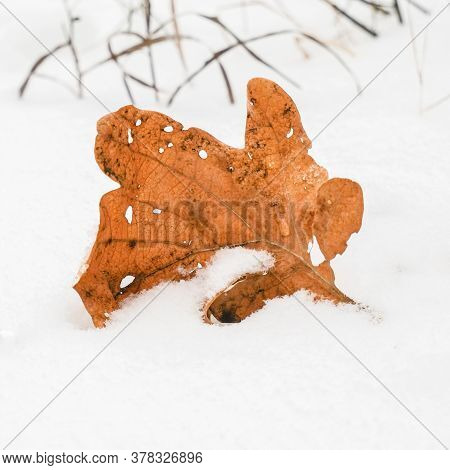 A Dead Oak Leaf Lies On The Snow, Autumn Leaves Fall. Concept Of The First Snowfall. Square Photo. H