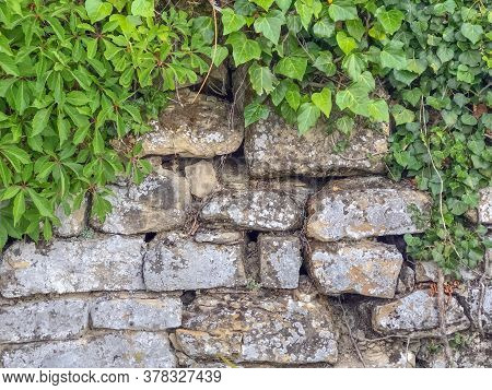 Old Stone Wall Background Covered With Grape Leaves And Green Ivy Plants Close-up. Copy Space
