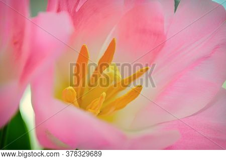 Pink Tulip Close-up. Yellow Stamens And Pestle, Selective Focus. Spring, Holiday Background, Horizon