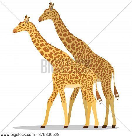 Giraffe, Two Giraffes Isolated On White Background. Vector Illustration. Vector.