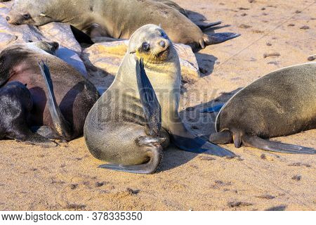 Charming marine mammals. Colony of fur seals. Cape Cross is the largest South African fur seal rookery. Namibian Nature Reserve. Sunny cold and windy day. The concept of ecological and photo tourism