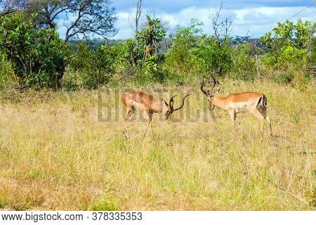 Duel of impala males after a harem of females. South Africa. The Kruger Park. Impala, or black-headed antelope graze in the green bushes. The concept of ecological and photo tourism