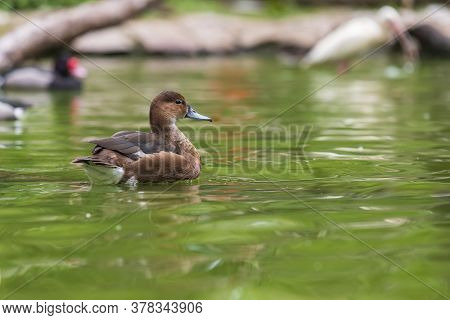 The Duck Swims On The Water And Has An Open Beak. Photo From The Bottom Of The Water.