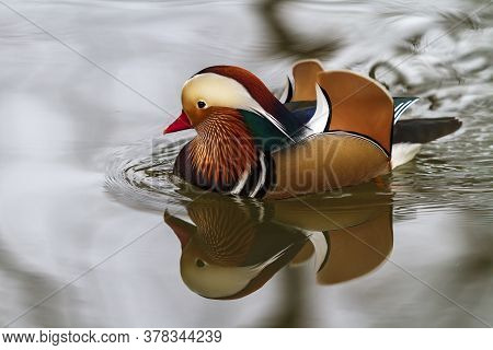 Mandarin Duck - Aix Galericulata - A Colorful Duck Swims On Water And Its Image Is Reflected In The