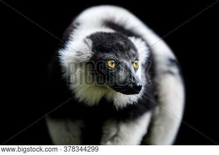 Close Black-and-white Ruffed Lemur On Black Background