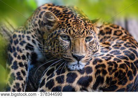 Leopard, Wild Animal In The Natural Habitat