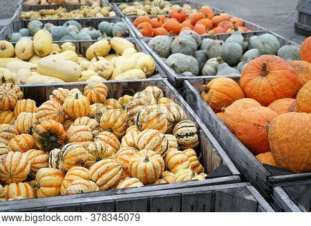 Colorful Pumpkins In Container At Farm In Autumn Harvest Season