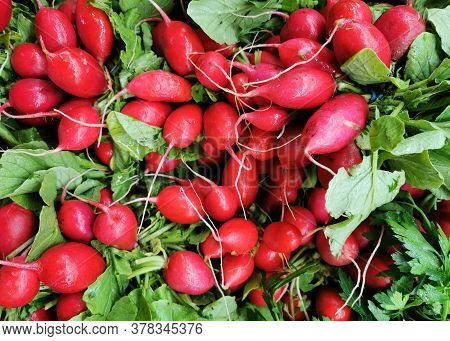 Close Up On Bunches Of Fresh Radish With Green Leaves