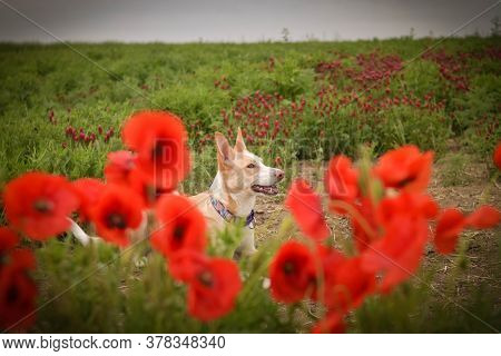 Jung White Dog , Who Is Hidding In Poppy Seed. He Is So Cute