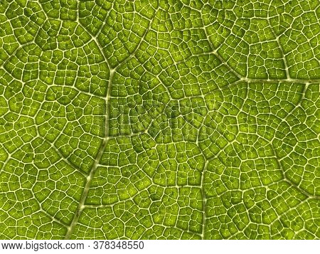 The Texture Of A Large Tropical Leaf (flower Island Mainau On The Lake Constance Or Die Blumeninsel