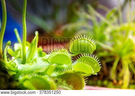 Venus Flytrap Carnivorous Plant. Dionaea Muscipula Close-up View