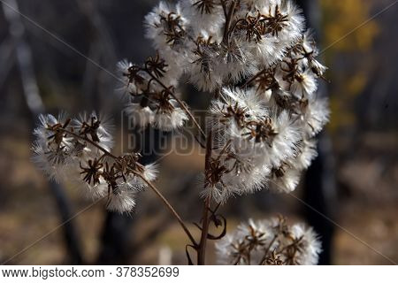 Fluff On A Branch Of A Plant In Autumn