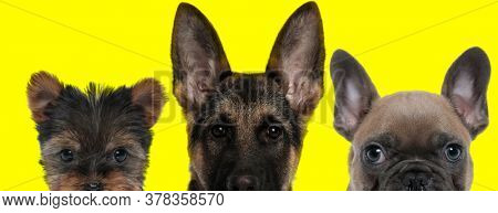 cute team of 3 dogs consisting of a Yorkshire Terrier dog, German Shepherd dog and French Bulldog dog standing side by side and hiding their faces from camera on yellow background