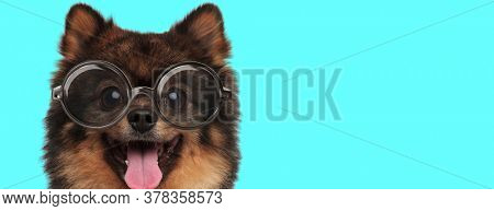 cute excited Pomeranian Spitz dog teasing, sticking out his tongue and wearing eyeglasses on blue background