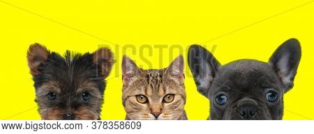 Yorkshire Terrier dog, metis cat and French Bulldog dog are standing next to each other and hiding faces from camera on yellow background