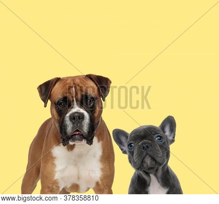 big mature boxer dog standing next to a young baby french bulldog dog looking at camera on yellow background