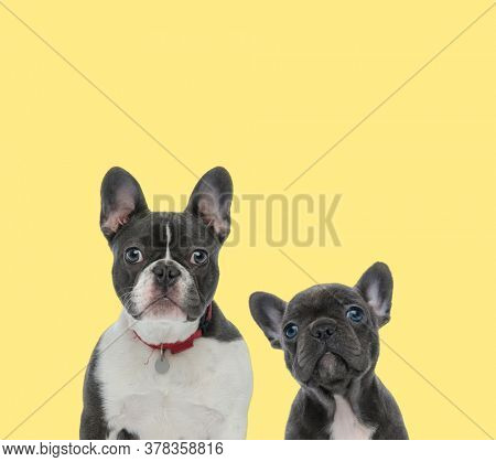 contrast between a mature french bulldog dog and a baby one sitting next to each other happy on yellow background