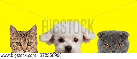 adorable team of 3 animals consisting of a metis cat, Bichon dog and Scottish Fold  cat are standing side by side and hiding faces from camera on yellow background