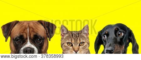 adorable couple of animals consisting of a Boxer dog, metis cat and Teckel dog are standing next to each other and looking aside and ahead on yellow background