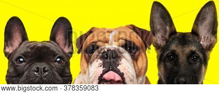 couple of 3 dogs consisting of a French Bulldog dog, English Bulldog dog and German Shepherd dog are standing side by side and sticking out tongue on yellow background