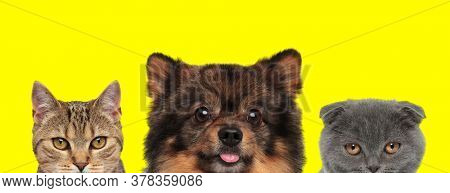 metis cat, Spitz dog and Scottish Fold cat are standing next to each other and sticking out tongue on yellow background