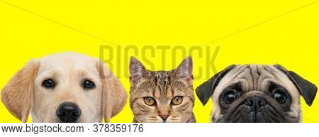 Labrador dog, metis cat and Pug dog arranged in line are hiding faces from camera on yellow background