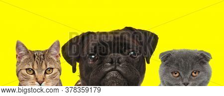 metis cat, Boxer dog and Scottish Fold cat arranged in line are standing with no occupation on yellow background