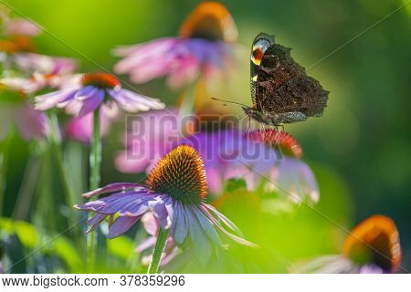 The Garden With Echinacea Flowers And Peacock Butterfly