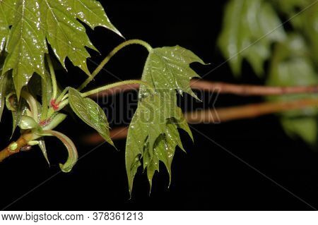 Young Maple Leaves On A Dark Background