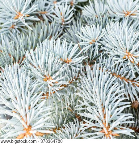 Blue Spruce Branches In Winter. The Blue Spruce Tree ( Picea Pungens). Christmas And New Year Decora