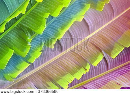 Leaves of Ravenala Madagascariensis (Traveller's palm). Close up photo leaf of exotical tropical palm. Photo toned in blue and lilac colors