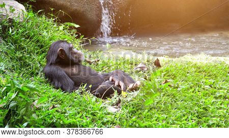 Wild chimpanzee is resting lying in the grass at the small waterfall