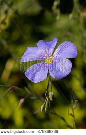 Flax, Linum Usitatissimum, Also Known As Common Flax Or Linseed, Is A Member Of The Genus Linum In T