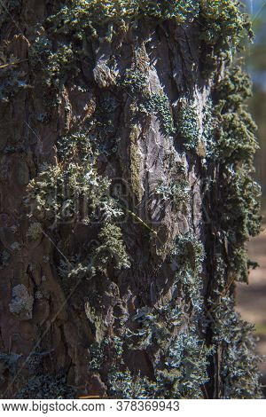 Pine Tree Bark Covered With Moss.
