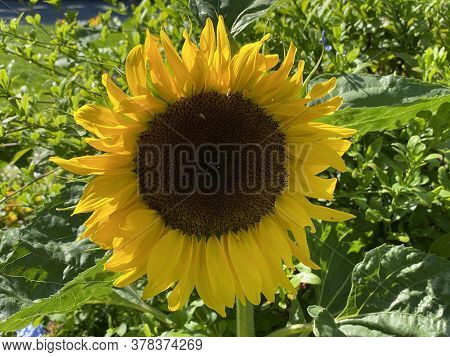 The Common Sunflower, Helianthus Annuus Or Sonnenblume (flower Island Mainau On The Lake Constance O