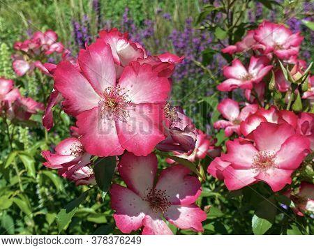 Die Rose Strauchrose Pretty Kiss (rosa \'pretty Kiss\'), Mainau - Constance, Germany / Konstanz, Deu