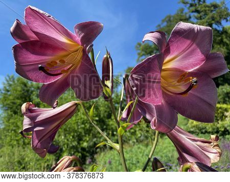 Lilium \'pink Perfection\' (trumpet Lily), Lily Pink Perfection Or Orienpet Lilie
