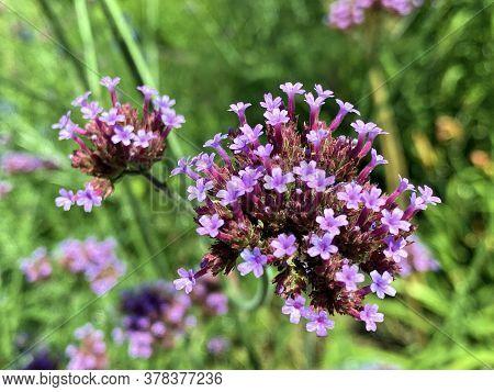 Beautiful Wild And Hybrid Ornamental Plants In Bloom On The Island Of Flowers (flower Island Mainau