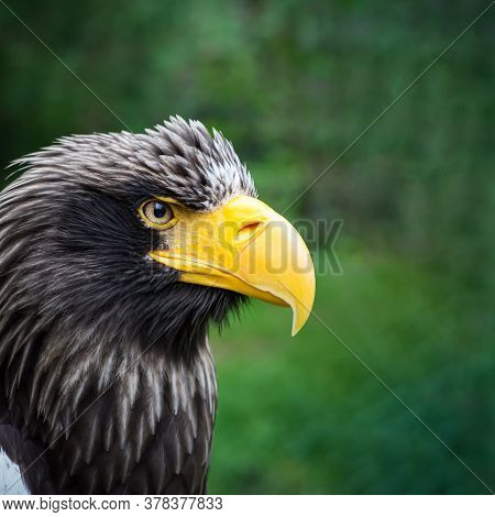 Beautiful Detailed Close-up Portrait Of An Eagle In Its Natural Habitat Against A Green Background.