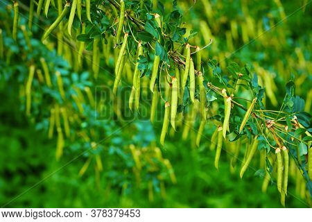 Garland Of Abstract Green Fruits On A Branch Of Pod Acacia In The Foreground Of A Blurred Background