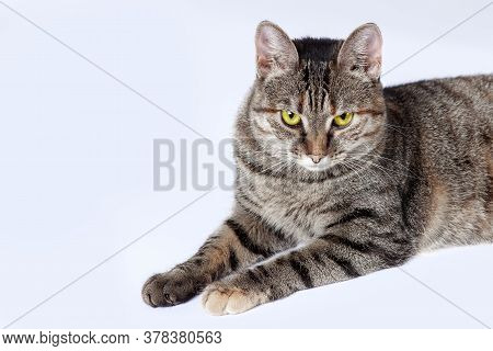 Close Up Portrait Of Short Hair Cat With Bright Yellow Eyes And Serious Look. Tabby Color, Displease