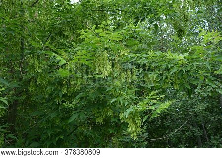 Seeds Of Ashleaf Maple, Acer Negundo,maple Ash Twig With Green Leaves And Blurred Forest On Backgrou