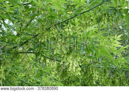 Green Leaves And Winged Fruit Of A Acer Negundo Tree (box Elder Or Ashleaf Maple).acer Negundo Branc