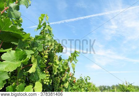 Green Vineyard, Vine With Leaves Growing On Background Of Blue Sky And White Clouds. Rural Landscape