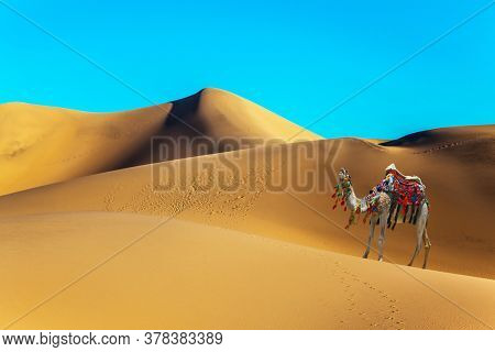 Orange sunrise in the desert. Well-groomed camel, decorated with colorful garlands and tassels, stands on the sand dunes. Concept of active, ecological and photo tourism