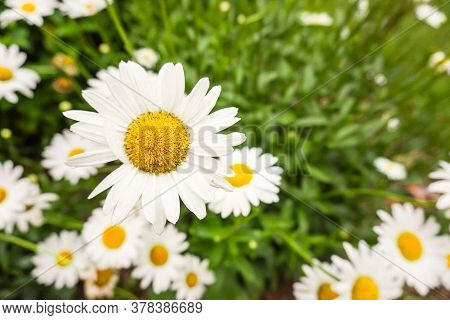 A White Daisy With A Yellow Center Rises Above Other Daisies In A Field In Summer